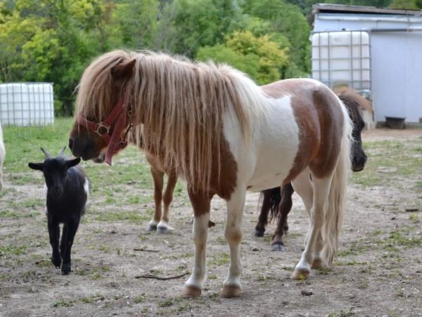 Macho de l'Espoir, type toy horse hongre pie alezan  Dsc_0024