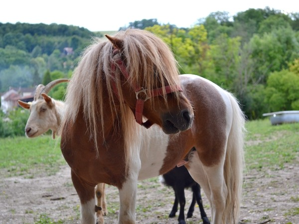 Macho de l'Espoir, type toy horse hongre pie alezan  Dsc_0115