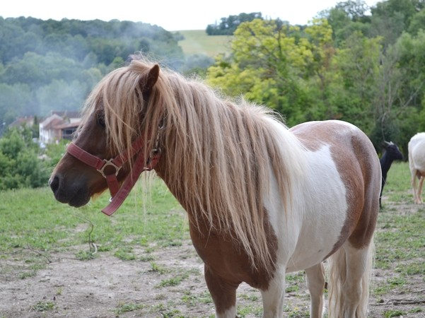 Macho de l'Espoir, type toy horse hongre pie alezan  Dsc_0116