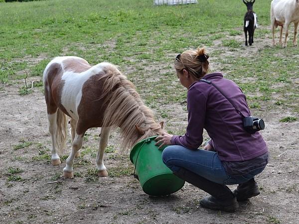 Macho de l'Espoir, type toy horse hongre pie alezan  Dsc_0117