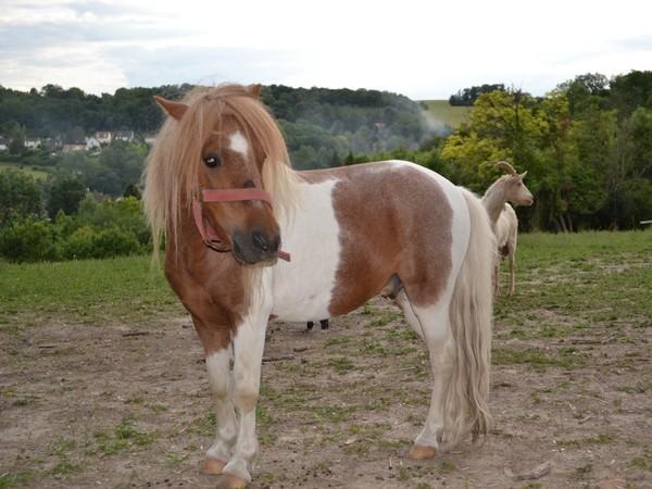 Macho de l'Espoir, type toy horse hongre pie alezan  Dsc_0118