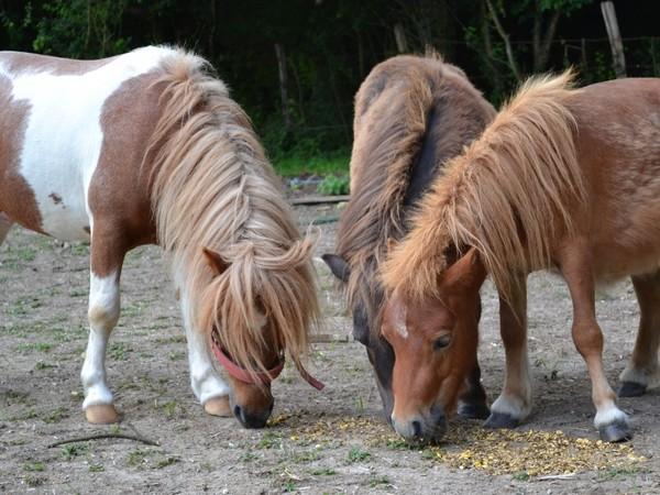 Macho de l'Espoir, type toy horse hongre pie alezan  Dsc_0119