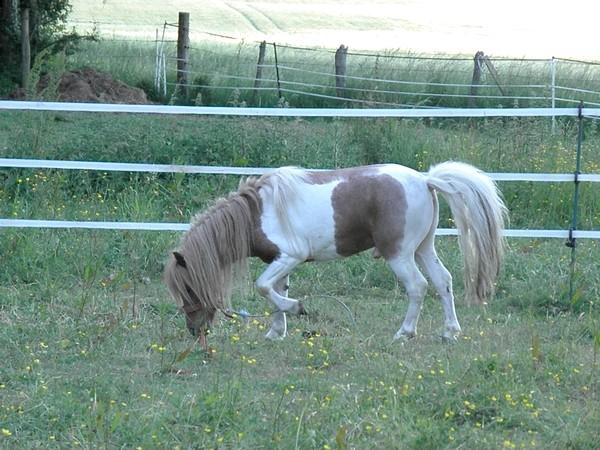 Macho de l'Espoir, type toy horse hongre pie alezan  P5250024