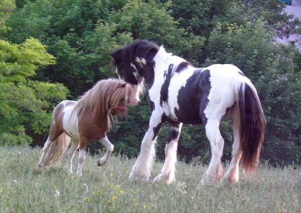 Macho de l'Espoir, type toy horse hongre pie alezan  P5250112