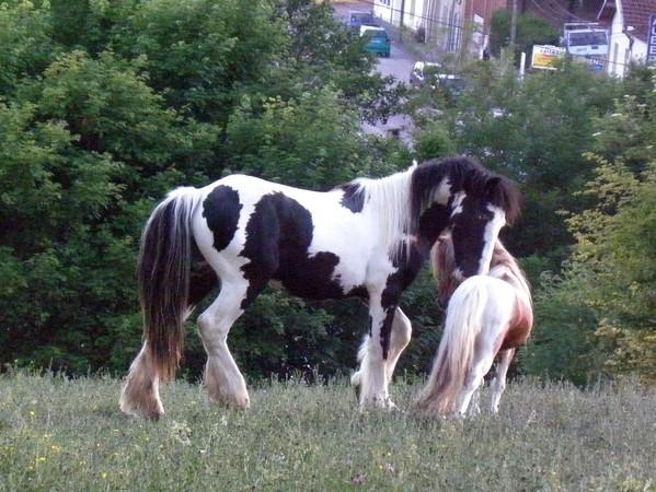 Macho de l'Espoir, type toy horse hongre pie alezan  P5250113