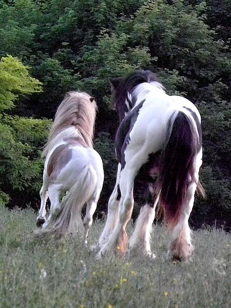 Macho de l'Espoir, type toy horse hongre pie alezan  P5250114