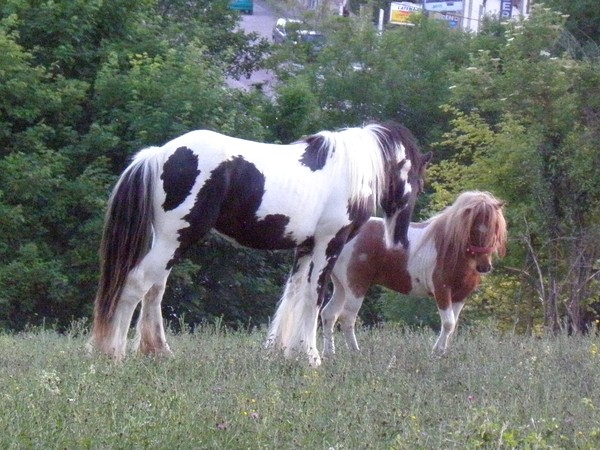 Macho de l'Espoir, type toy horse hongre pie alezan  P5250115