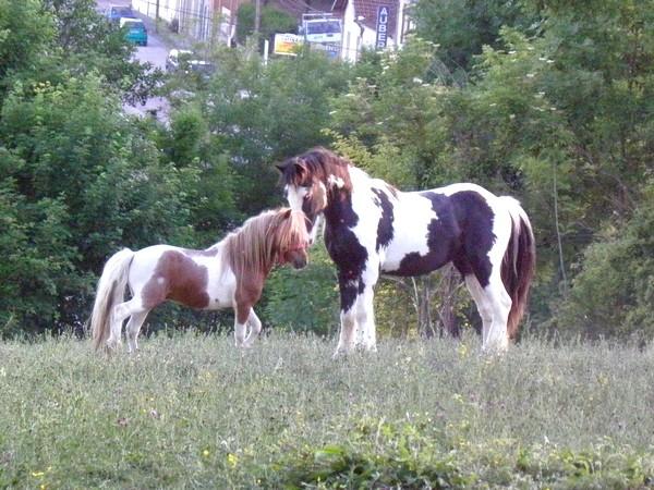 Macho de l'Espoir, type toy horse hongre pie alezan  P5250117