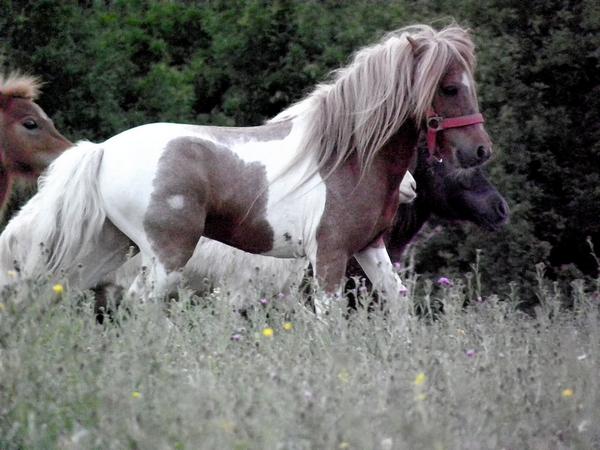Macho de l'Espoir, type toy horse hongre pie alezan  P5250120