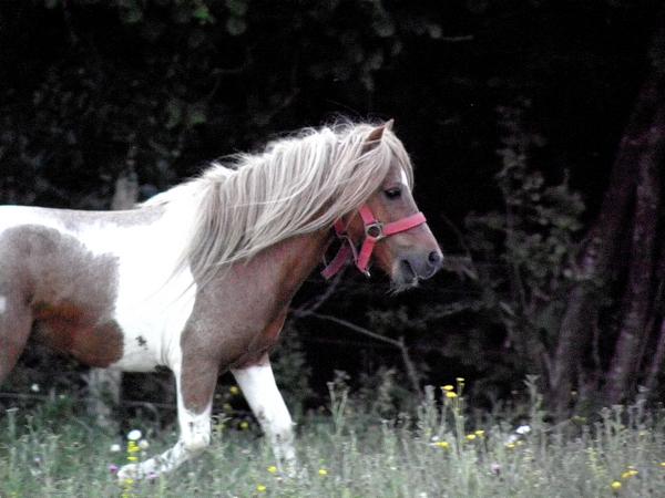 Macho de l'Espoir, type toy horse hongre pie alezan  P5250121
