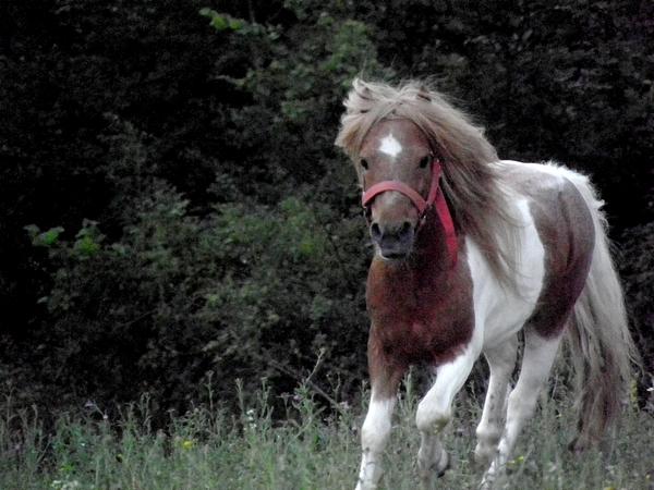 Macho de l'Espoir, type toy horse hongre pie alezan  P5250122