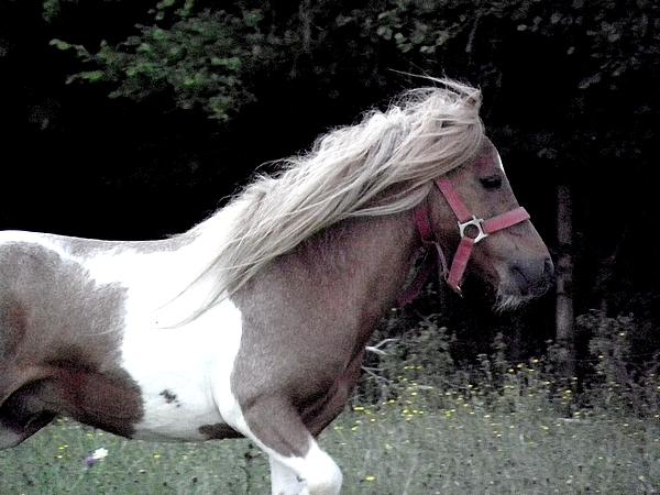 Macho de l'Espoir, type toy horse hongre pie alezan  P5250123