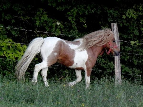 Macho de l'Espoir, type toy horse hongre pie alezan  P5250124
