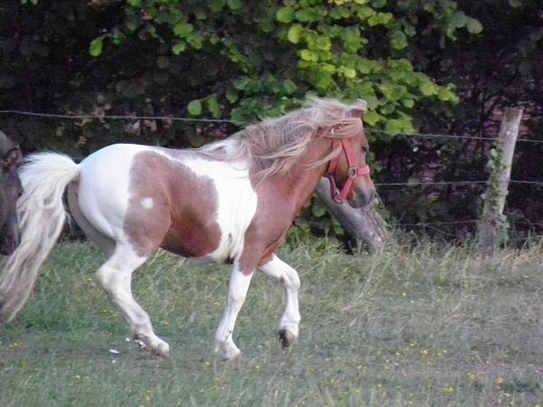 Macho de l'Espoir, type toy horse hongre pie alezan  P5250125