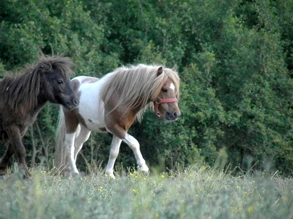 Macho de l'Espoir, type toy horse hongre pie alezan  P5250126