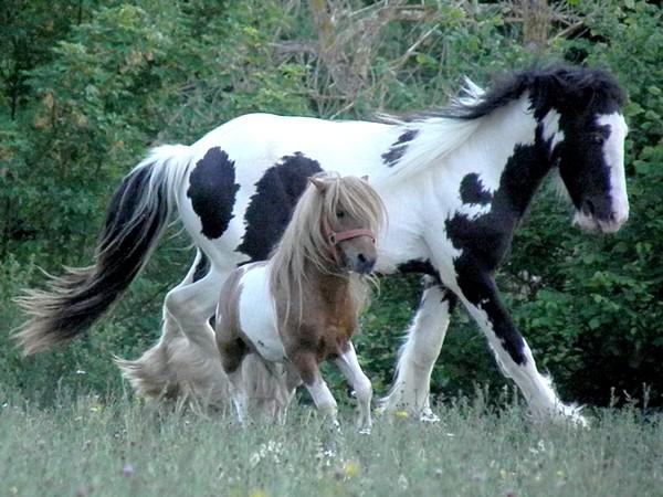 Macho de l'Espoir, type toy horse hongre pie alezan  P5250127
