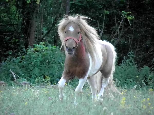 Macho de l'Espoir, type toy horse hongre pie alezan  P5250128