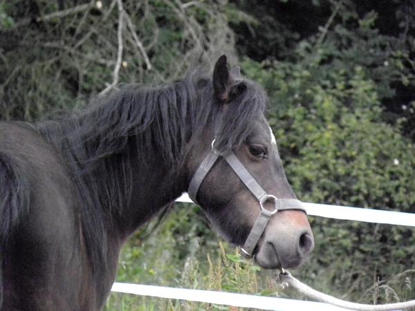 Jivana de l'Espoirs, Welsh baie et Betty Boop pouliche pie noire - Page 6 P5270123