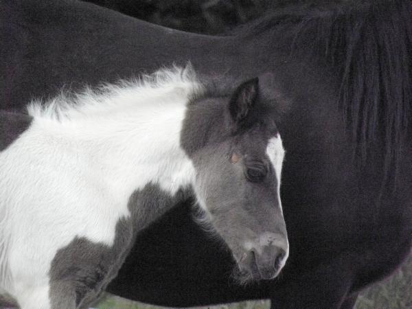 Jivana de l'Espoirs, Welsh baie et Betty Boop pouliche pie noire - Page 6 P5270126