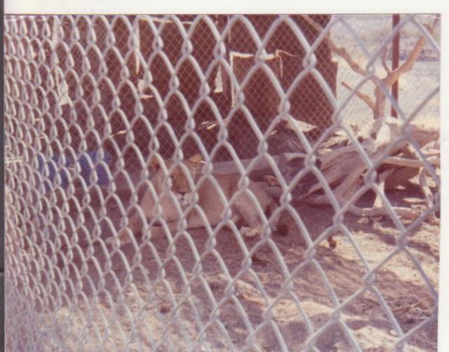 Histoire de lions. Charlo11
