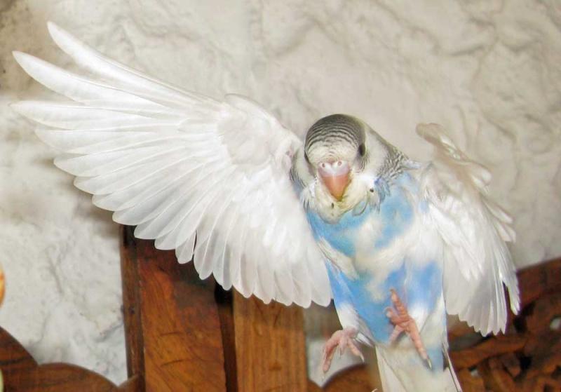 pour ou contre la taille des ailes. Psse_g10