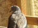 Oiseaux de volière (RESOLU) 04_07_10