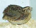 Oiseaux de volière (RESOLU) Caille10