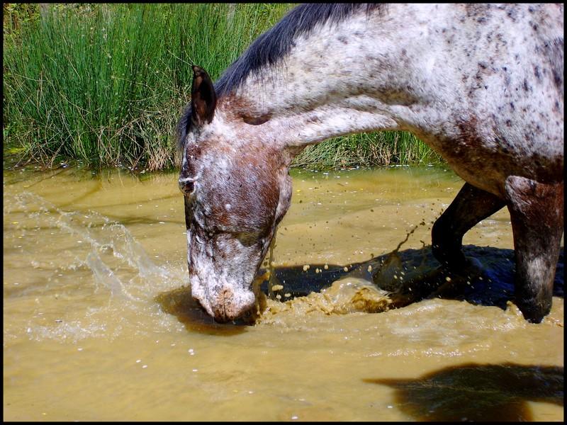 Les chevaux et l'eau, venez votez... Loutre11