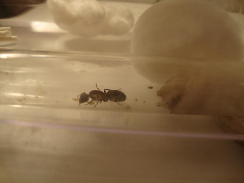 Journal De Bord (Camponotus Novaeboracensis, Lasius Sp) - Polyman - Page 2 Dsc04710