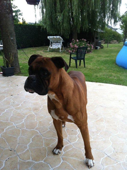 Boxer sur Tours Indre et Loire 26852010