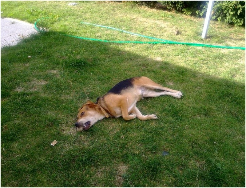 EDOUARD croisé beagle  9 mois adopté par Patrick ( 79 ) Edouar10