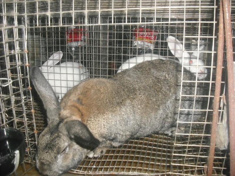 Recherche lapin, lapine à chair, cage à lapin aussi Dscf0016