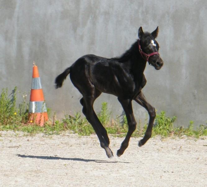 A VENDRE 2 POULICHES PAINT HORSE : VENDUES 21mai217