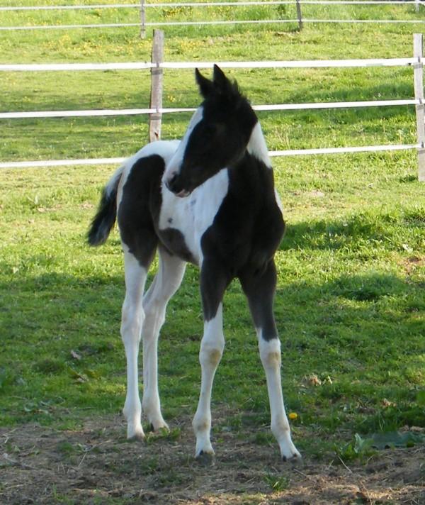 A VENDRE 2 POULICHES PAINT HORSE : VENDUES Dscf3412