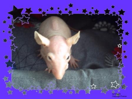 [Animaux] Les voleurs de Miettes, rats domestiques Haoru_11