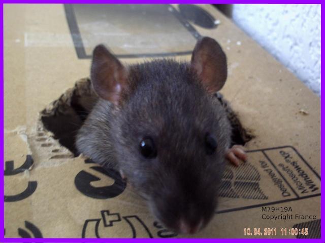 [Animaux] Les voleurs de Miettes, rats domestiques Les_vo10