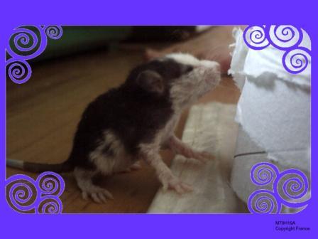 [Animaux] Les voleurs de Miettes, rats domestiques Wolong11