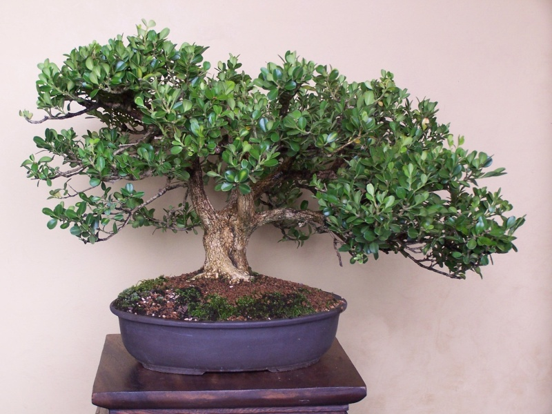 The Old Oak Style – A possibility for Bonsai?? 8-29-110