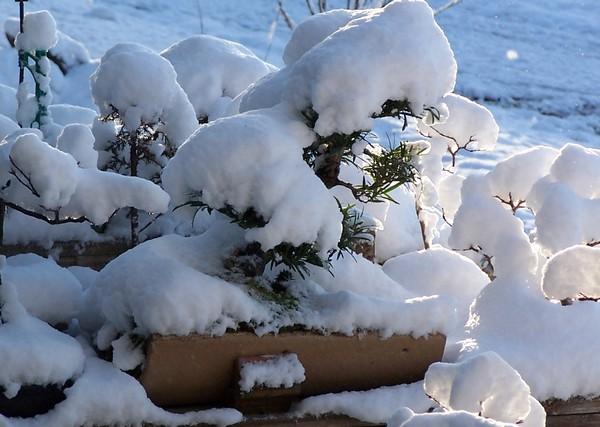 Bonsai coldframe-greenhouse Snow_310