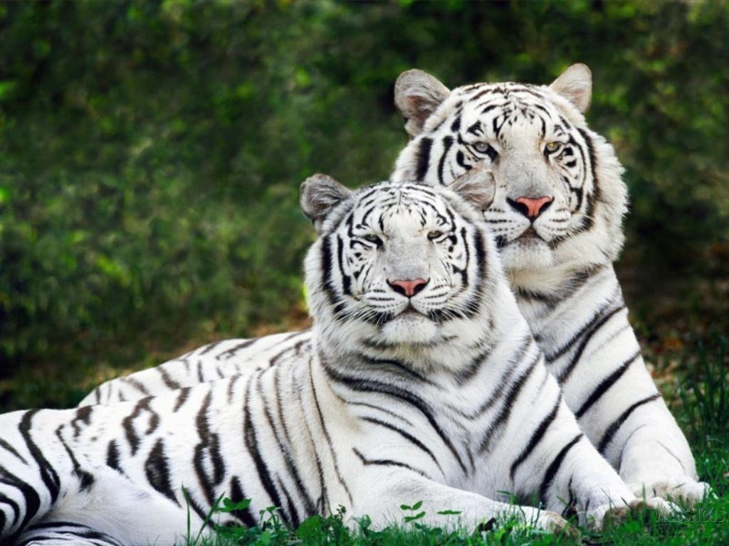 منتديات النمور