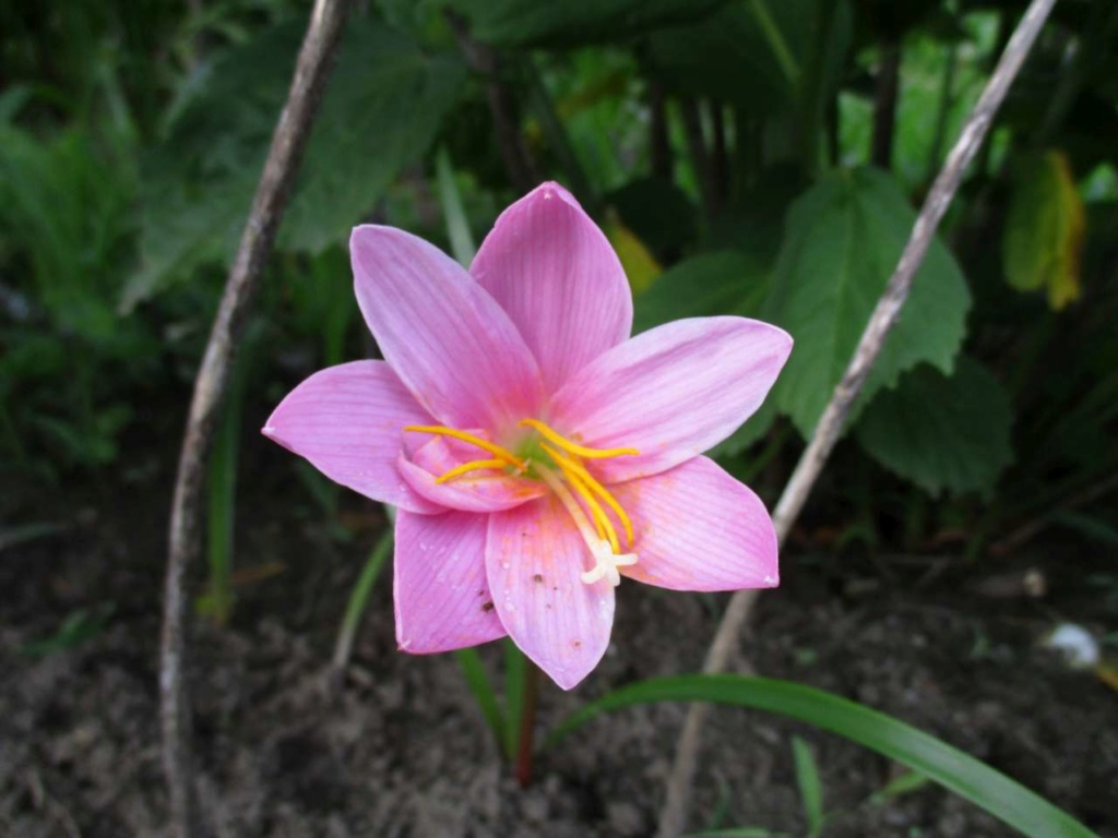 petite inconnue - Zephyranthes rosea Appart11