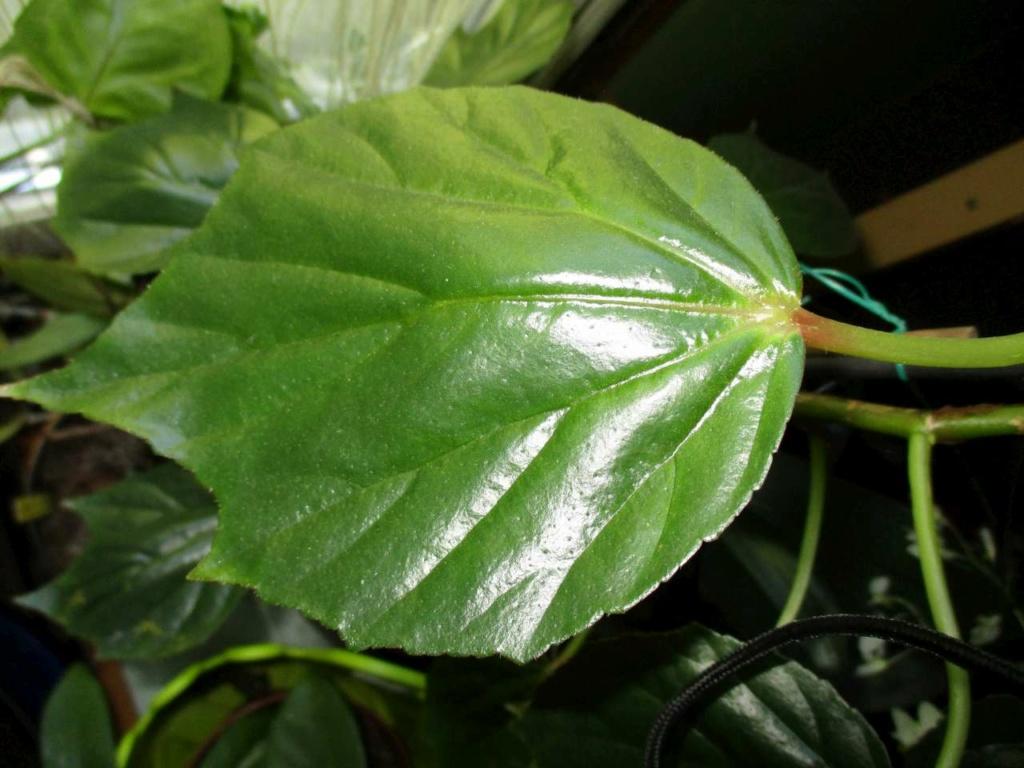 Begonia 'Fernande Laporte' Fernan12