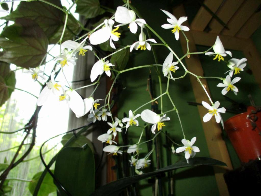 Begonia 'Fernande Laporte' Flo_fe12