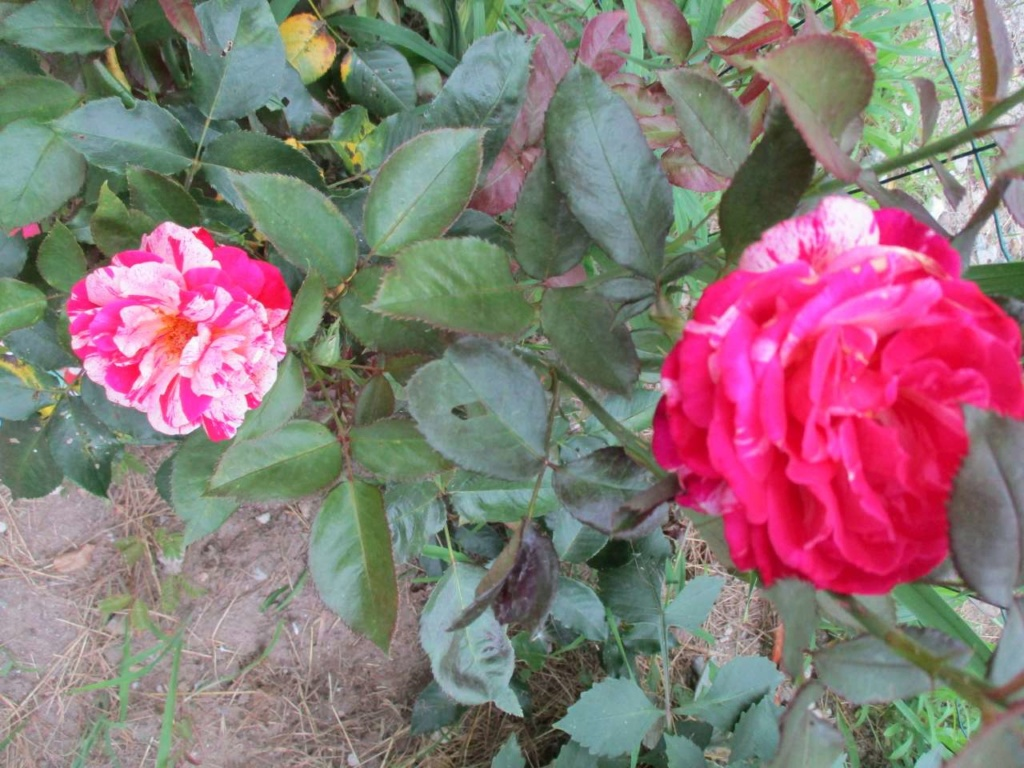 petit tour au jardin - Page 2 Jardin47