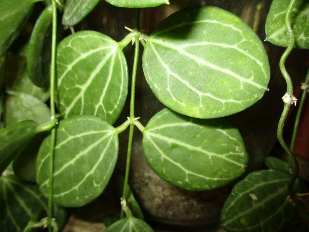 "nouveau cékoitesse... Dischidia ovata ""watermelon"" Plante11"