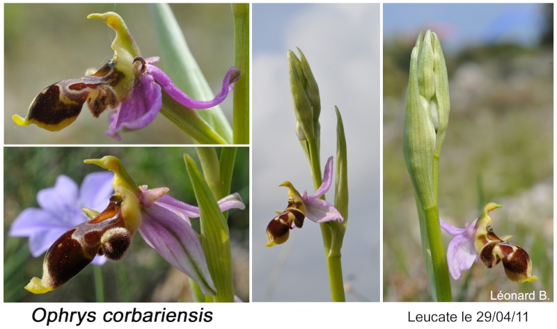 Ophrys corbariensis Ophrys31