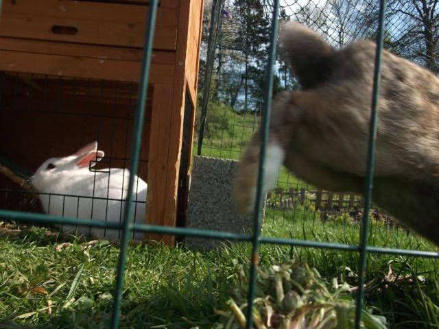 Qui trouvera nos lapins ? Dscf0517