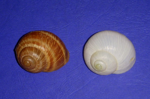 Helix pomatia (Linnaeus, 1758) - tout blanc ! Pomati10