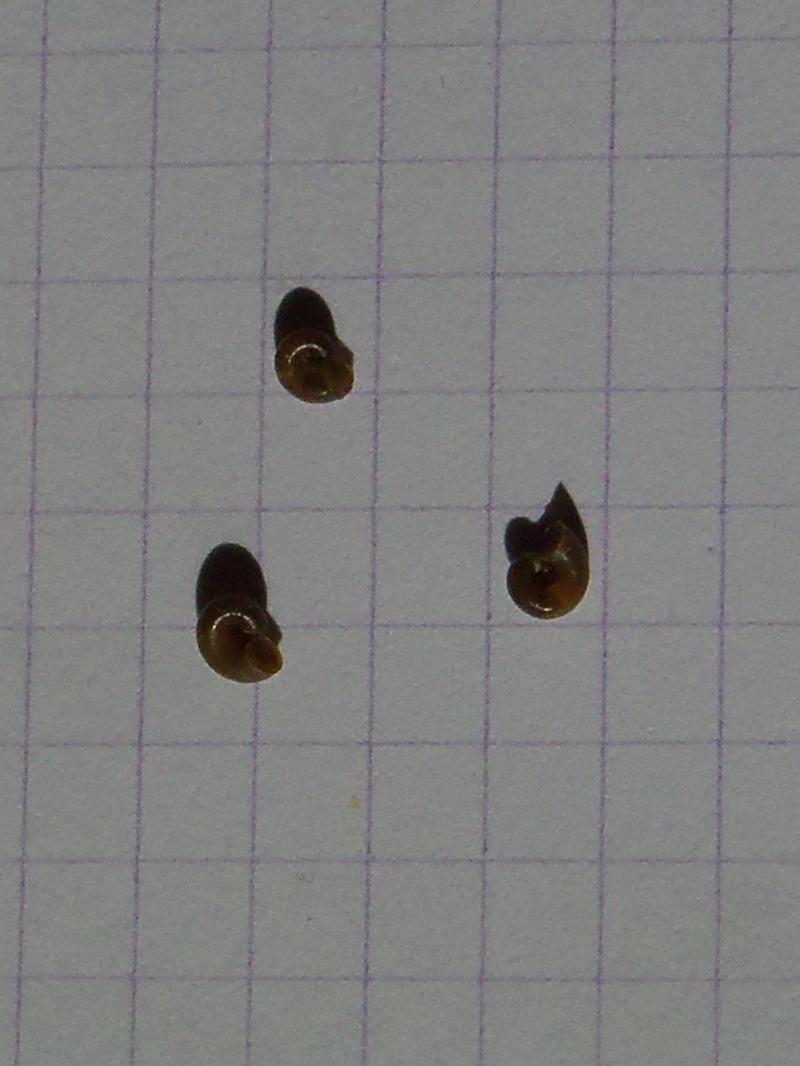 Identification d'escargots d'eau douce. Noctur11