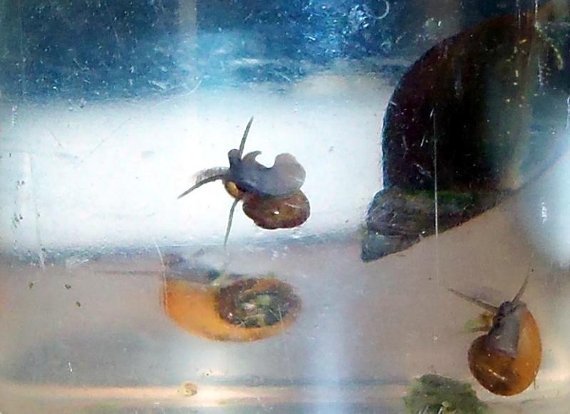 Identification d'escargots d'eau douce. Noctur12